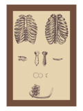 Ribcages Wall Decal by Andreas Vesalius