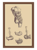 Stomach Wall Decal by Andreas Vesalius