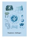Jellyfish: Nauphanta Challengeri Wall Decal by Ernst Haeckel