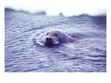 Bearded Seal Wall Decal by Captain Budd Christman