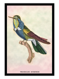 Hummingbird: Trochilus Scuataus Wall Decal by Sir William Jardine