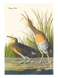 Clapper Rail Wall Decal by John James Audubon
