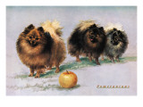 Three of Mrs. Hall Walker&#39;s Champion Pomeranians Wall Decal
