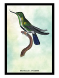 Hummingbird: Trochilus Avocetta Wall Decal by Sir William Jardine
