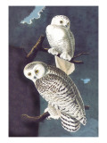 Snowy Owl Wall Decal by John James Audubon