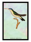 Hummingbird: Trochilus Quadricolor Wall Decal by Sir William Jardine