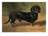 Dachshund Earl Satin Wall Decal