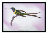 Hummingbird: Trochilus Enicurus Wall Decal by Sir William Jardine