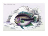 Pometis Fasciatus Wall Decal by Robert Hermann Schomburgk