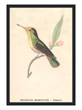 Hummingbird: Female Trochilus Magnificus Wall Decal by Sir William Jardine