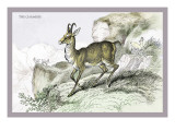 The Chamois Wall Decal by John Stewart