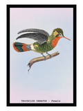 Hummingbird: Female Trochilus Ornatus Wall Decal by Sir William Jardine