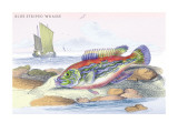 Blue Striped Wrasse Wall Decal by Robert Hamilton