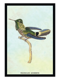 Hummingbird: Trochilus Audeneth Wall Decal by Sir William Jardine