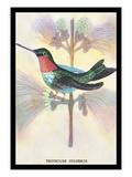 Hummingbird: Trochilus Colubris Wall Decal by Sir William Jardine