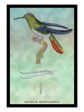 Hummingbird: Trochilus Recurvirostris Wall Decal by Sir William Jardine