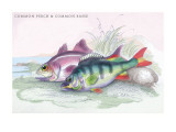 Common Perch and Common Bass Wall Decal by Robert Hamilton