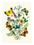 Butterflies: C. Palaeno, C. Phicomene Wall Decal by William Forsell Kirby