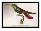 Hummingbird: Trochilus Gramineus Wall Decal by Sir William Jardine