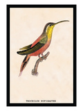 Hummingbird: Trochilus Rufigaster Wall Decal by Sir William Jardine