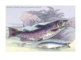 Salmon Feroxvar and Salmon Trout Wall Decal by Robert Hamilton