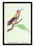 Hummingbird: Male Trochilus Magnificus Wall Decal by Sir William Jardine