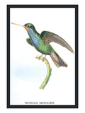 Hummingbird: Trochilus Saphirinus Wall Decal by Sir William Jardine