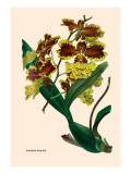 Orchid: Oncidium Mantinii Wall Decal