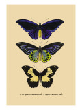 Papilio Urvillianus, Guer Wall Decal
