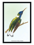 Hummingbird: Trochilus Mellivorous Wall Decal by Sir William Jardine