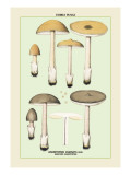 Edible Fungi: Sheathed Amanitopsis Wall Decal