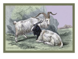 Cashmere Goats Wall Decal by John Stewart