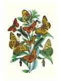 Butterflies: A. Dia, A. Lathonia Wall Decal by William Forsell Kirby
