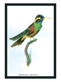 Hummingbird: Trochilus Leucotis Wall Decal by Sir William Jardine