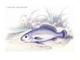 Corvina Grunniens Wall Decal by Robert Hermann Schomburgk