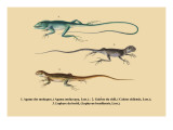 Agame des Moluques Wall Decal