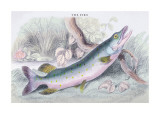 The Pike Wall Decal by Robert Hamilton