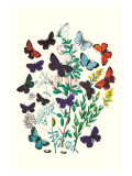 Butterflies: P. Euphemus, P. Cyllarus Wall Decal by William Forsell Kirby