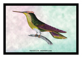 Hummingbird: Trochilus Sephanoides Wall Decal by Sir William Jardine
