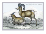 Rocky Mountain Sheep Wall Decal by John Stewart