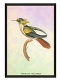 Hummingbird: Trochilus Chalybeus Wall Decal by Sir William Jardine