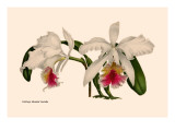 Orchid: Cattleya Mossia Vestalis Wall Decal