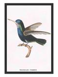 Hummingbird: Troceilus Cyaneus Wall Decal by Sir William Jardine