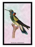 Hummingbird: Trochilus Petasphorus Wall Decal by Sir William Jardine