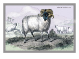 Black Faced Ram Wall Decal by John Stewart