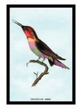 Hummingbird: Trochilus Anna Wall Decal by Sir William Jardine