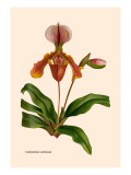 Orchid: Cypripedium Lathianum Wall Decal by William Forsell Kirby