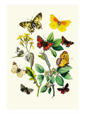 Butterflies: E. Belemia, E. Tagis Wall Decal by William Forsell Kirby