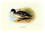 Salvadori's Duck Wall Decal by Henrick Gronvold