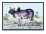 Indian Ox Wall Decal by John Stewart